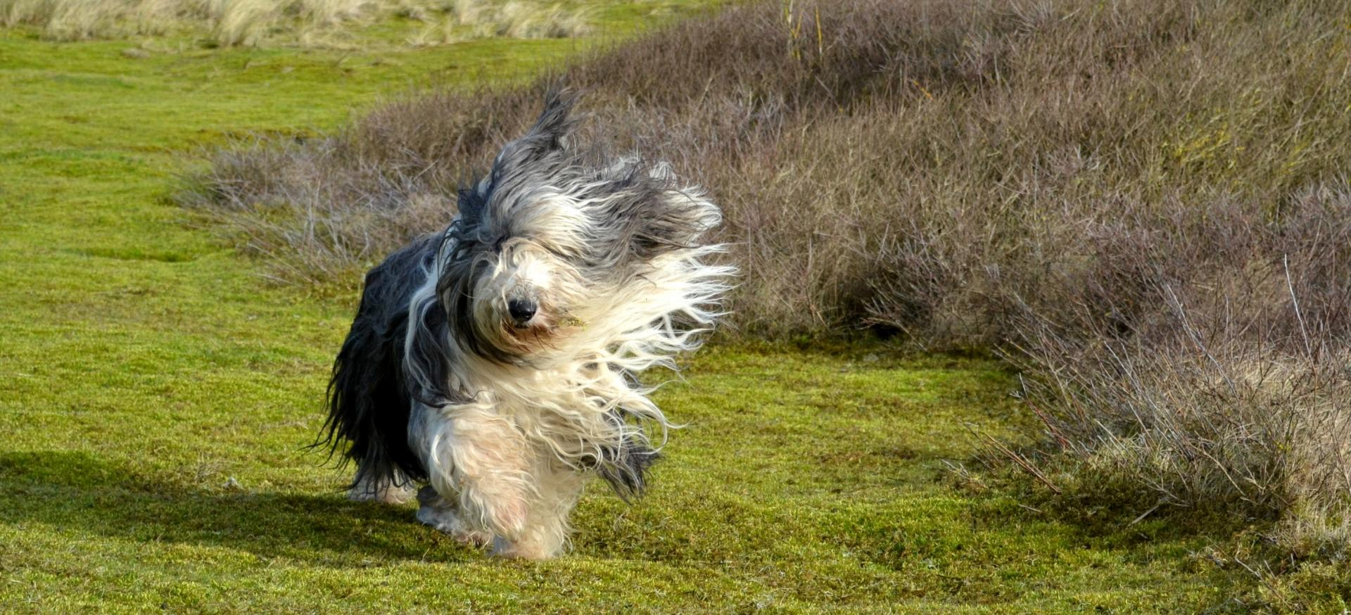 Bearded Collies du Calitchumbelet